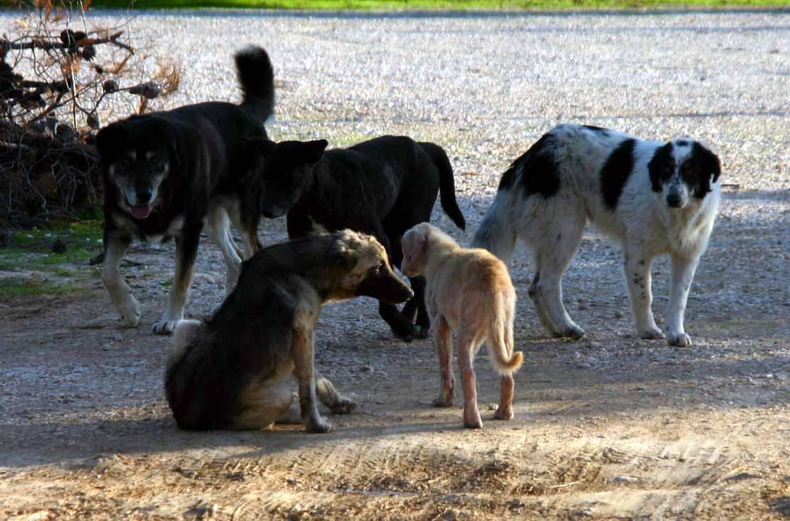 Αποτέλεσμα εικόνας για αδέσποτα σκυλιά